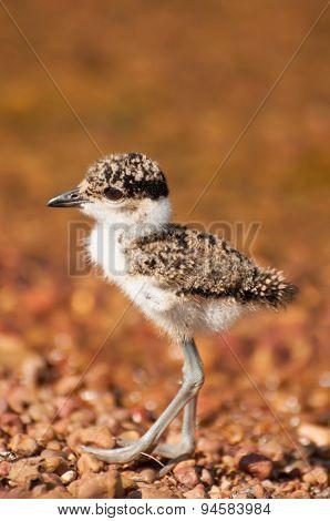 Lapwing Chick By Lake