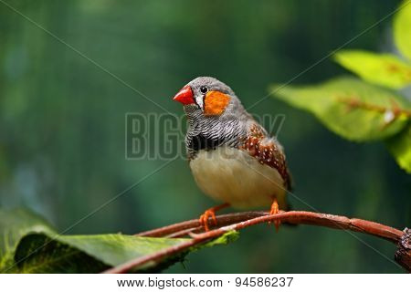 African Finch