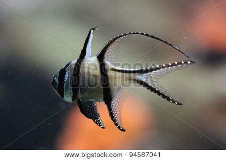 Banggai cardinalfish (Pterapogon kauderni). Wildlife animal.