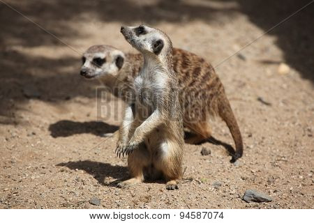 Two Meerkats (Suricata suricatta), also known as the suricate. Wildlife animals.
