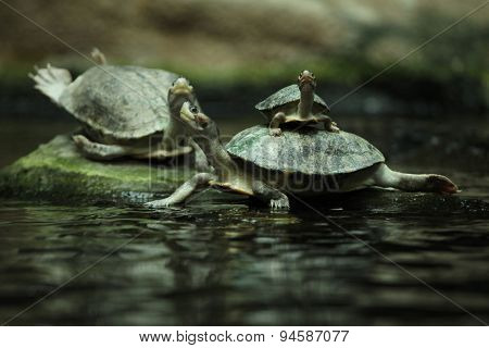 Southern river terrapin (Batagur affinis), also known as the Batagur. Wildlife animal.