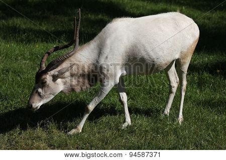 Addax (Addax nasomaculatus), also known as the white antelope and the screwhorn antelope. Wildlife animal.