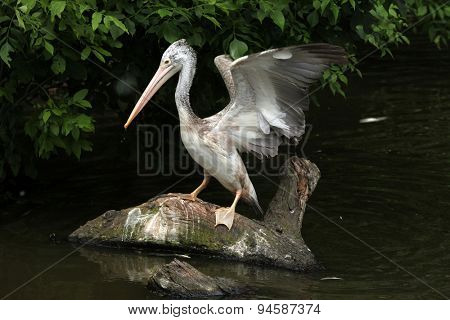 Grey pelican (Pelecanus philippensis), also known as the spot-billed pelican catching fish. Wildlife animal.