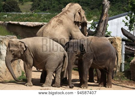 Indian elephants (Elephas maximus indicus) have sex. Wildlife animals.