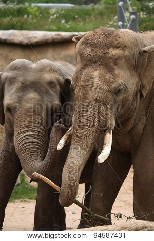 Two Indian elephants (Elephas maximus indicus). Wildlife animals.
