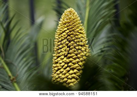 Sago Palm Cone In Bloom