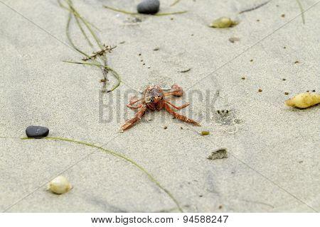 Red Tuna Crab On Beach