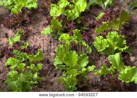 Lettuce On The Bed In Vegetable Garden