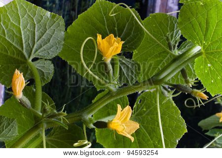 Small Fruit And Flowers Of Cucumber