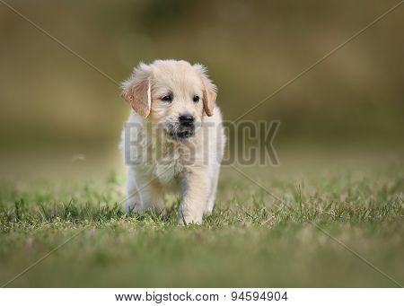 Purebred Retriever Puppy