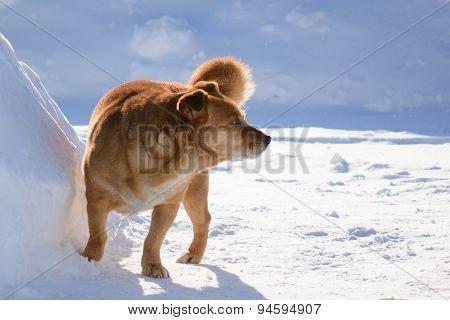 Pedigree dog walk
