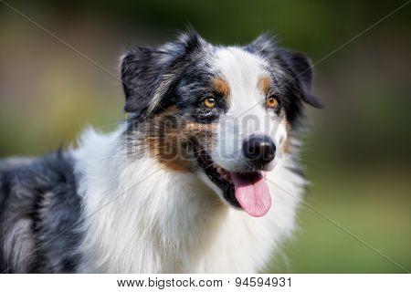 Close-up Of Senior Border Collie Dog