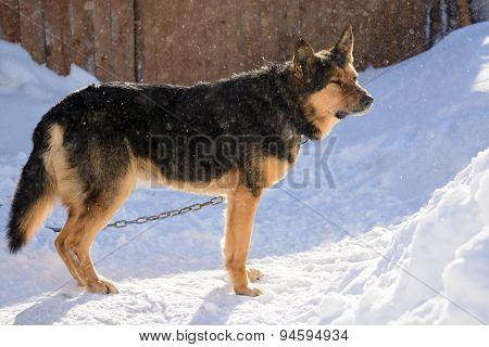 German Shepherd dog on the chain