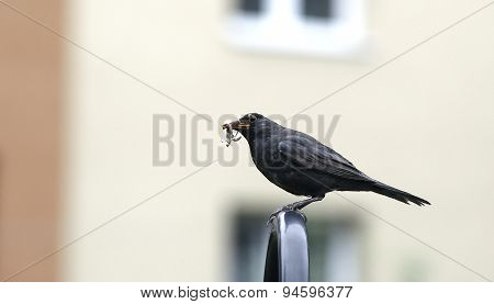 Turdus With Worm