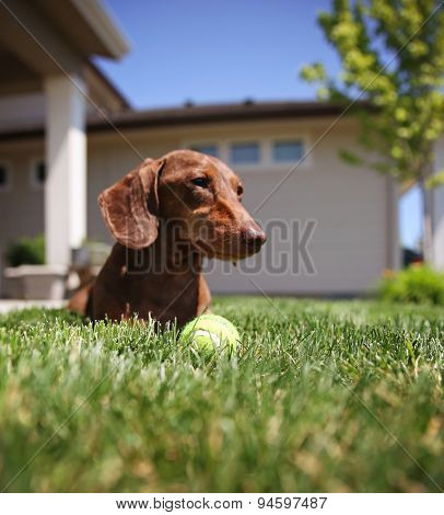 a wiener dog dachshund dog playing with a tennis ball (SHALLOW DOF on the ball)