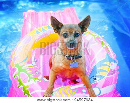 a cute chihuahua mix sitting in a blow up tube in a pool during summer