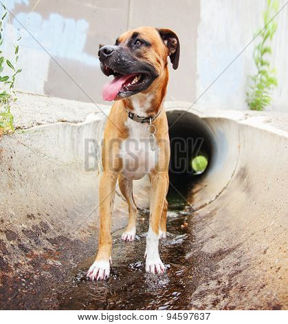 a cute boxer dog at a local public park running through a tunnel