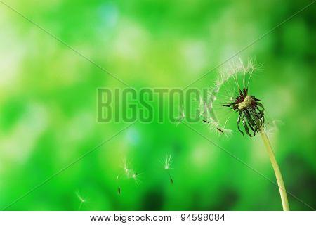 Blown dandelion on green blurred background