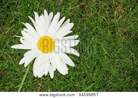 Chamomile flower over green grass with copy space