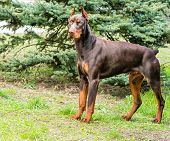 picture of doberman pinscher  - The Doberman Pinscher is on the green grass in the park - JPG