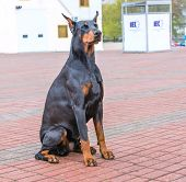 stock photo of doberman pinscher  - The Doberman Pinscher is on the green grass in the park - JPG