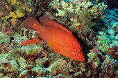 pic of grouper  - Coral Grouper at South Ari Atoll Maldives - JPG