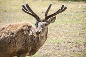 image of deer rack  - Young male red deer in spring time with winter coat of hair - JPG