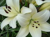 picture of monocots  - Lily white growing in nature blooms in summer - JPG