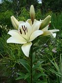 pic of monocots  - Lily white growing in nature blooms in summer - JPG