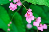 foto of confederation  - pink Confederate vine flower in the garden - JPG