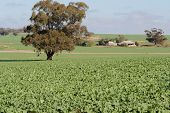 foto of farm-house  - young canola crop with tree and a farm house in background - JPG