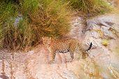 stock photo of leopard  - Female leopard walking slowly and looking for its pray in Masai Mara Kenya - JPG