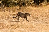 picture of leopard  - Female leopard walking in grass and looking for its pray in Masai Mara Kenya - JPG