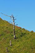 foto of sakhalin  - old dead trunks of coniferous trees on blue sky background - JPG