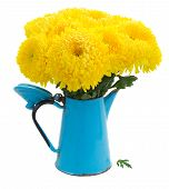 pic of mums  - yellow mum flowers in blue pot isolated on white background - JPG