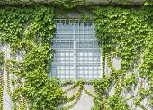 picture of ivy  - window shutter with ivy on old house wall - JPG