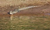 pic of monitor lizard  - sunny riparian scenery with nile monitor in Botswana Africa - JPG