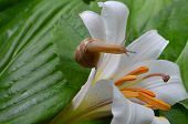 picture of enzyme  - Little snail crawling on a white lily covered with dew - JPG