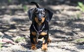 foto of dachshund dog  - breed dachshund dog is at home on carpet - JPG