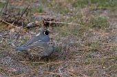 pic of quail  - California valley quail in the Nevada desert early spring time - JPG