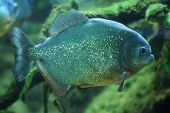 stock photo of piranha  - Piranha  - JPG