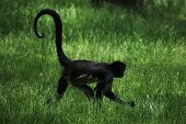 stock photo of monkeys  - Geoffroy - JPG
