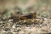 pic of locust  - Migratory locust  - JPG