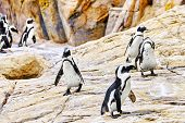 stock photo of jackass  - Jackass Penguin in its natural habitat in nature - JPG