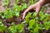 pic of gathering  - hand of woman gathering lettuce in the garden - JPG