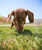 stock photo of dachshund dog  - a wiener dog dachshund dog playing with a tennis ball  - JPG
