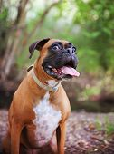 image of tongue licking  - Adult Boxer Portrait In A Natural Outdoor Setting with her tongue hanging out  - JPG