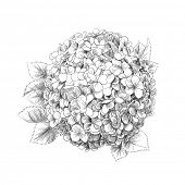 picture of hydrangea  - Hand - JPG
