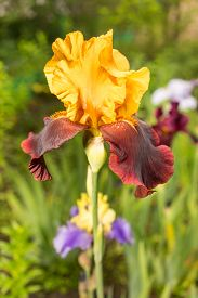 pic of rare flowers  - rare yellow and purple color iris flower on a natural green grass background  - JPG