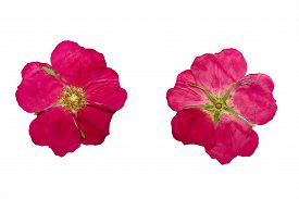 stock photo of wild-brier  - Pressed and Dried flower wild rose shot from the front and the back of the flower - JPG